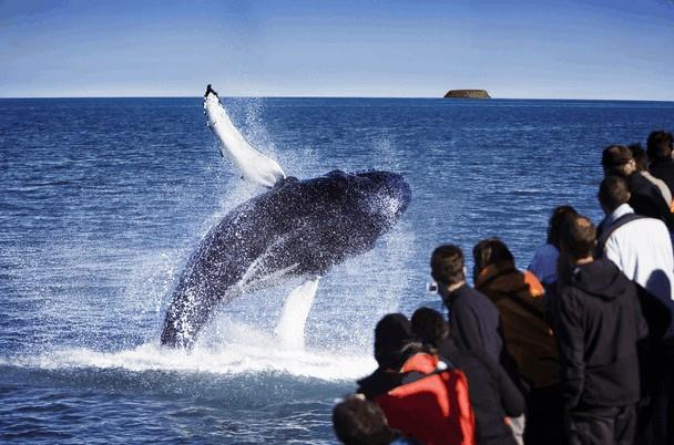 Jumping humpback whale Iceland